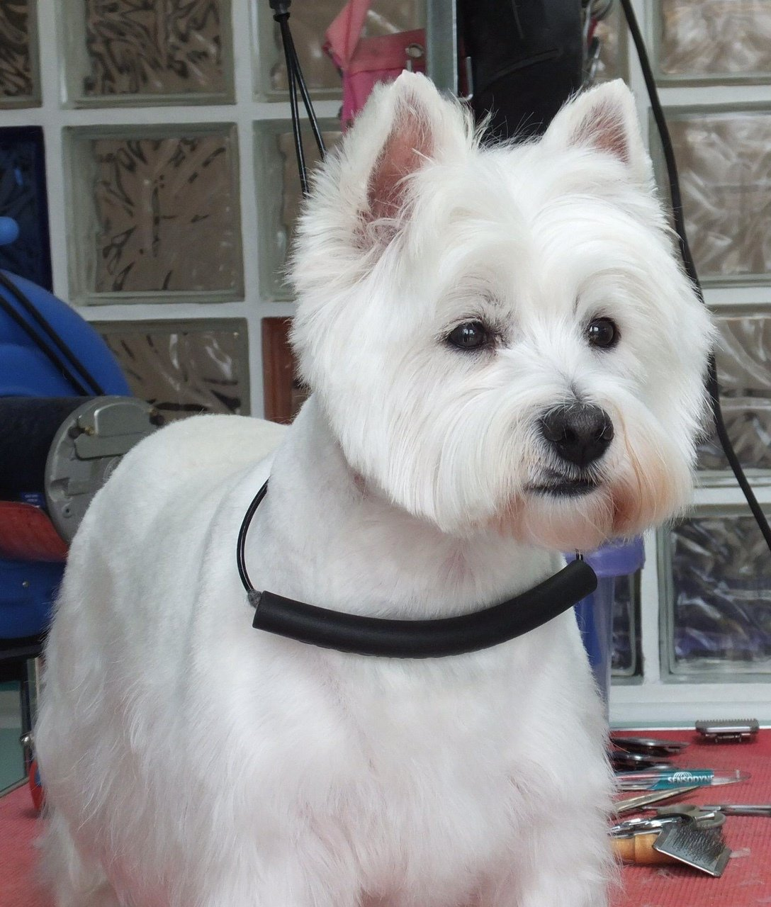 White terrier dog