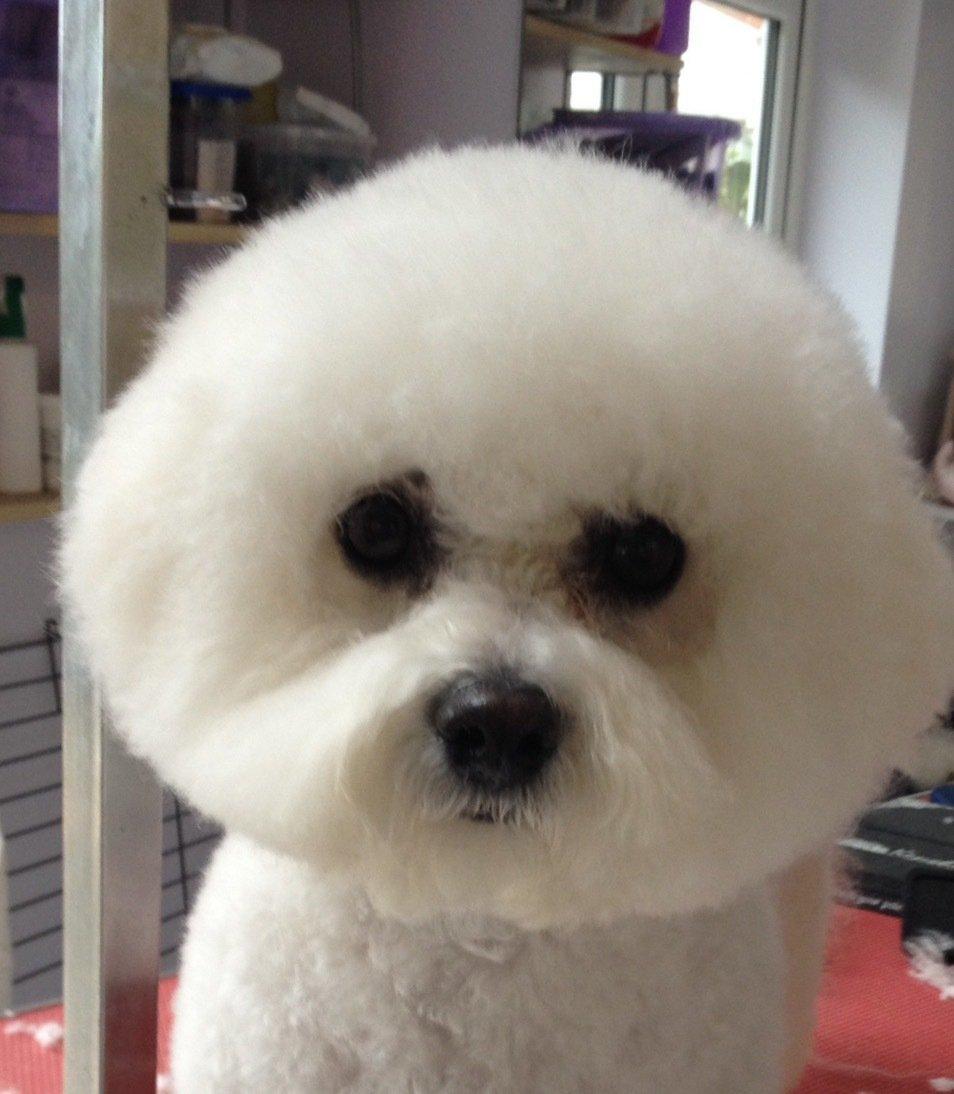 Poodle hair grooming