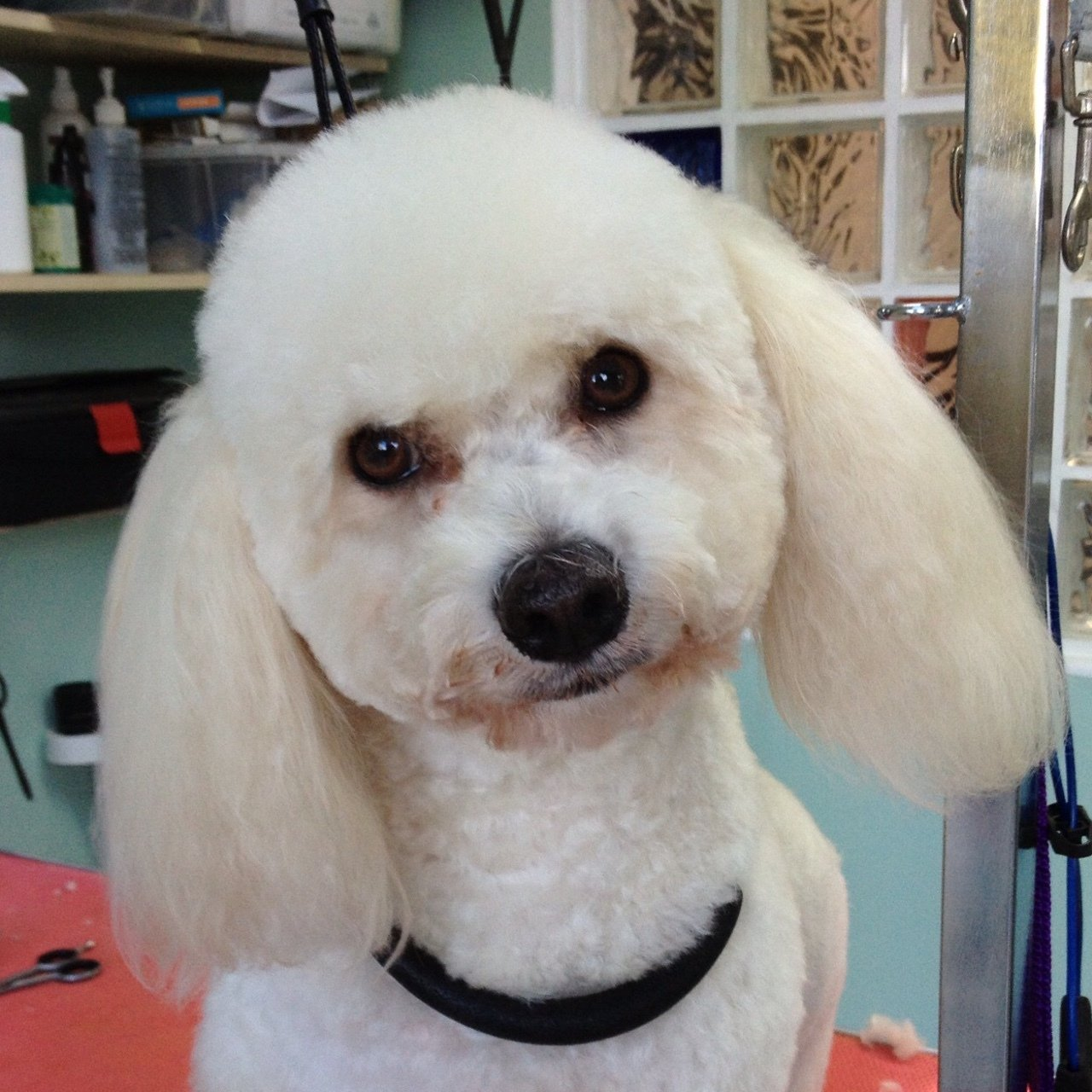 Well-groomed dog