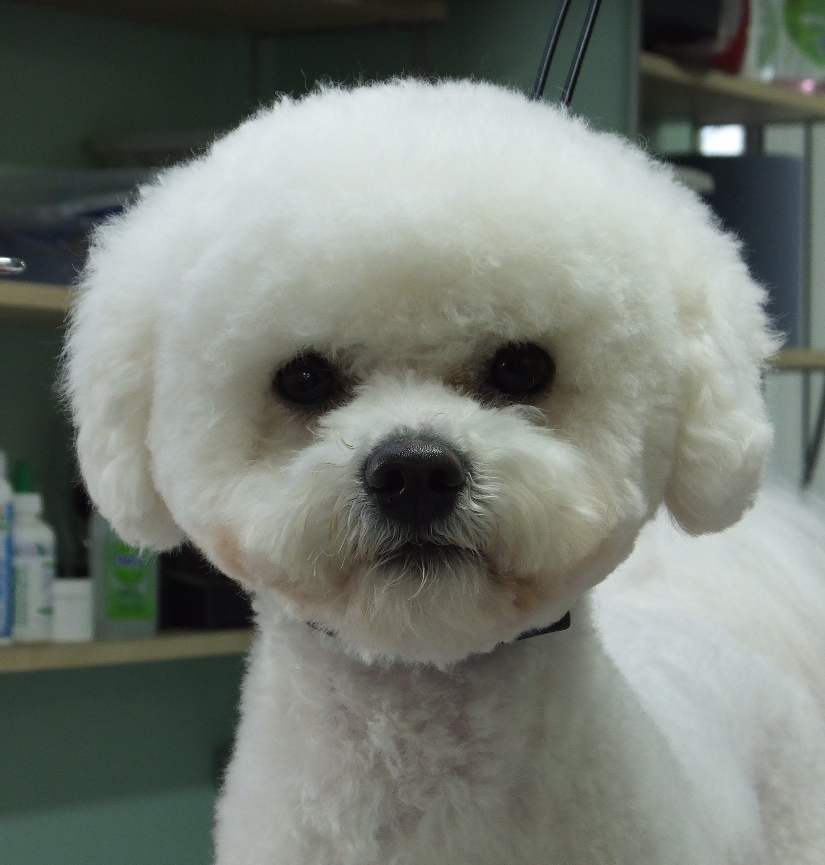 White poodle grooming