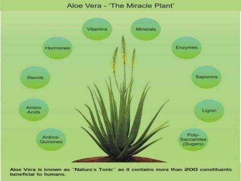 ALOE VERA MIRACLE PLANT