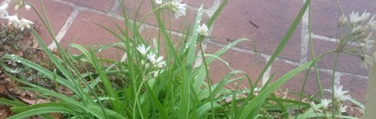 Onion weed in need of lawn weed control on the Central Coast