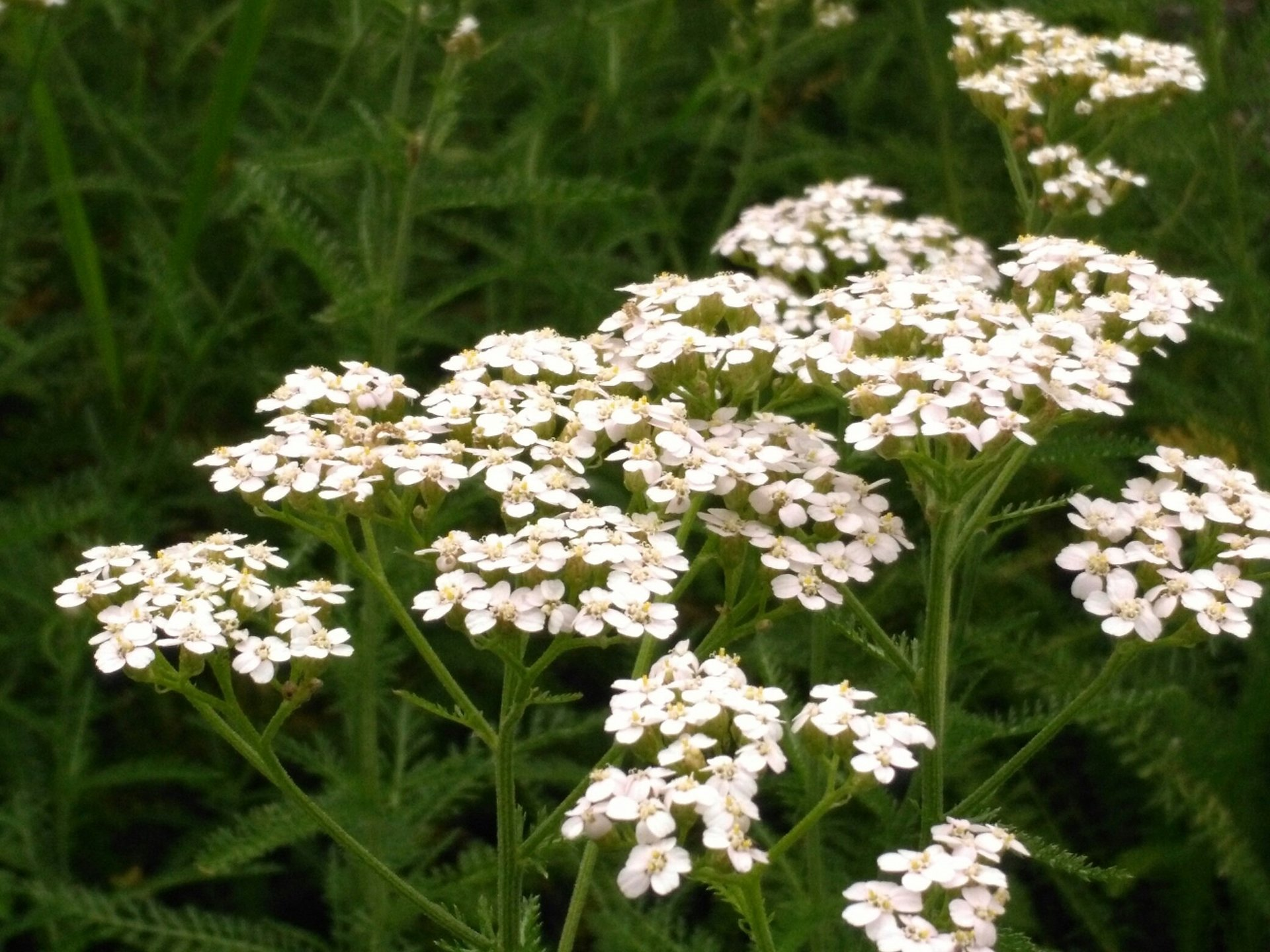 Lady Yarrow herbal benefits blood pressure and menstral cycles