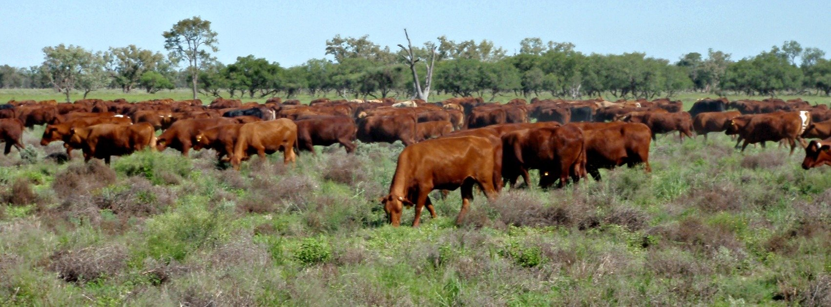 Cattle grazing in the field