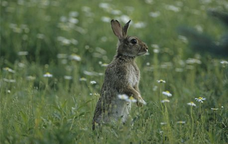 Rabbit on its hind legs in a field