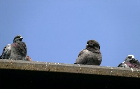 Pigeons sat on a building ledge