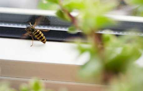 Wasp buzzing near a window entrance