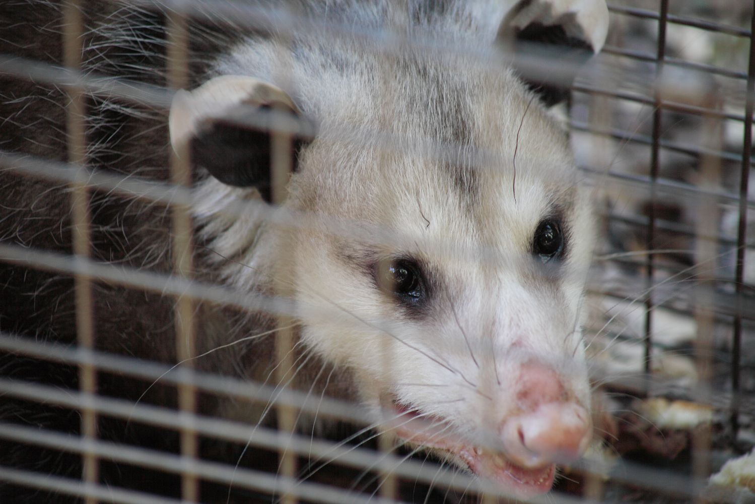 possums in a cage in Auckland
