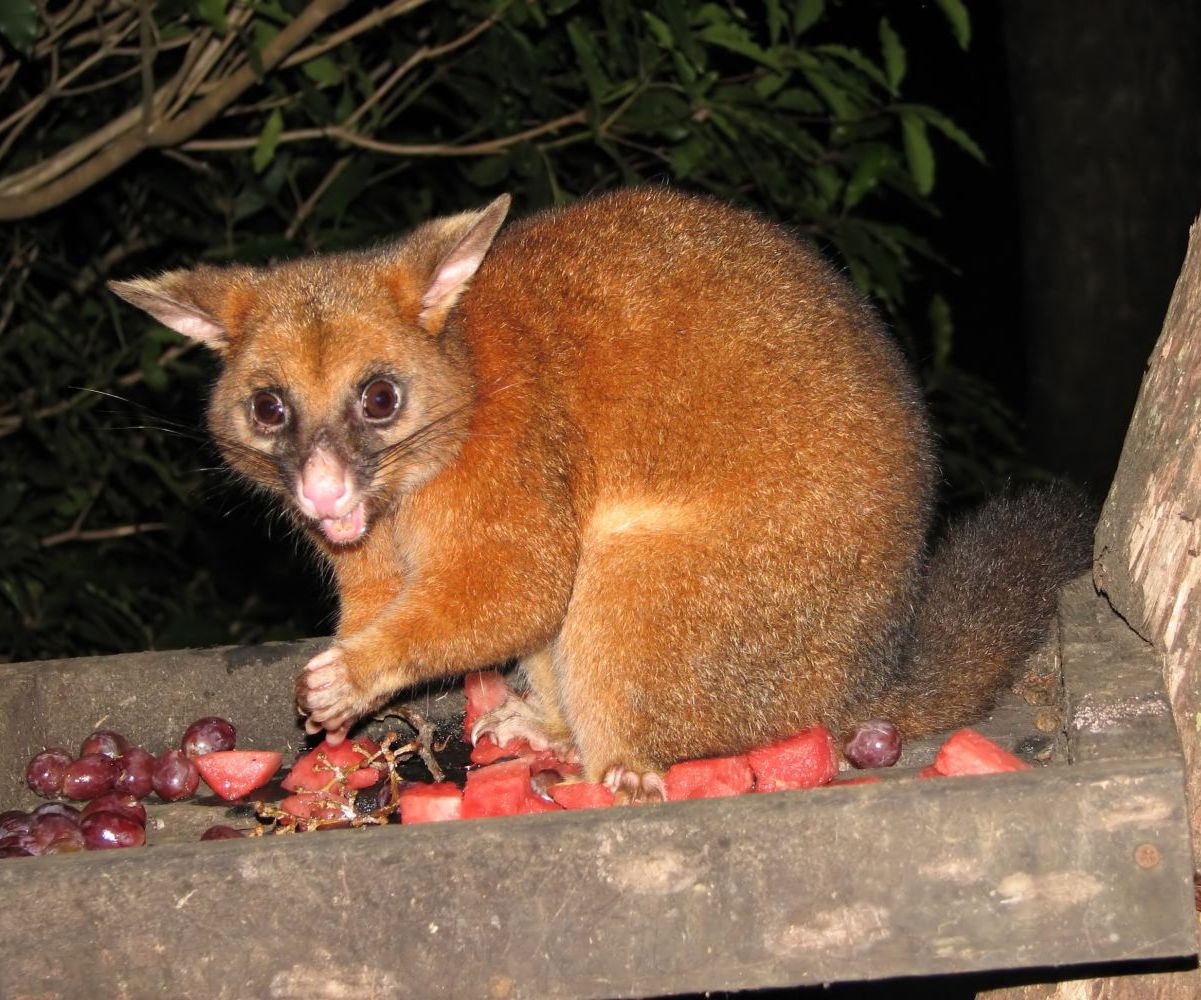One of Auckland's pest possums