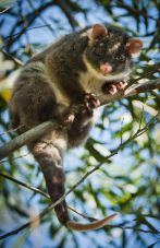 one of the possums in an Auckland tree