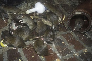 Problems with rats