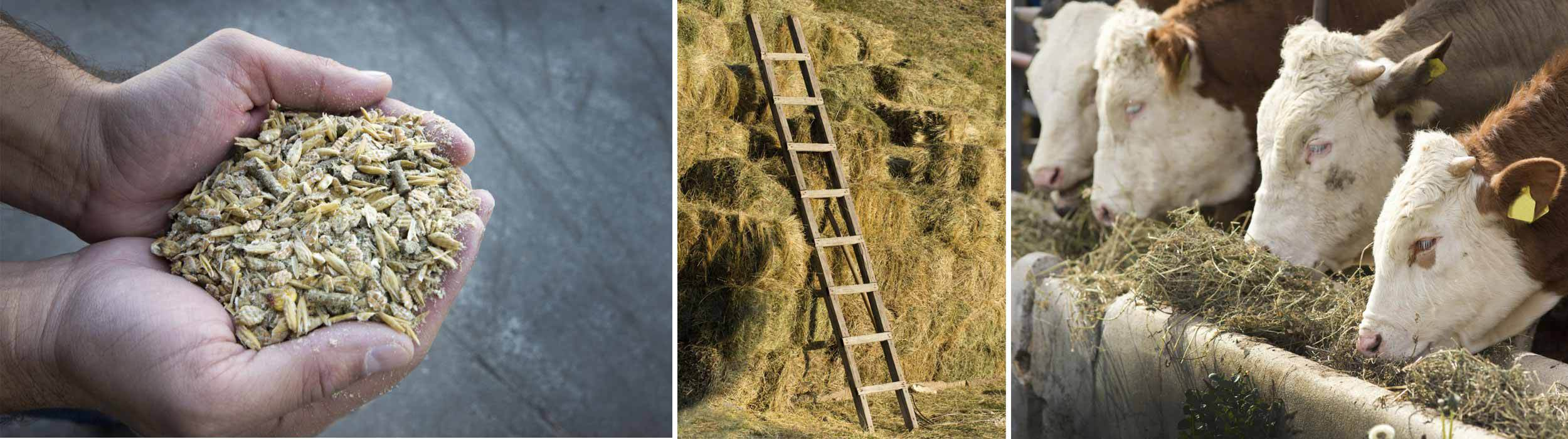 Farm feeds, ladder and a haystack and cows eating farm feeds