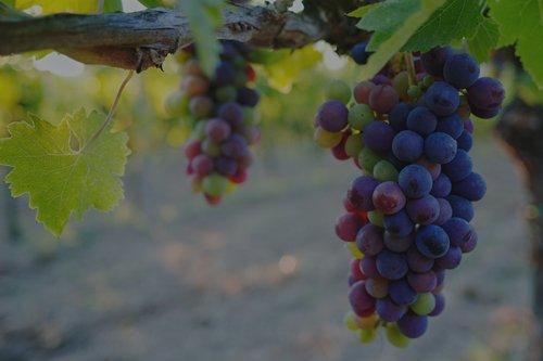 due grappoli di uva