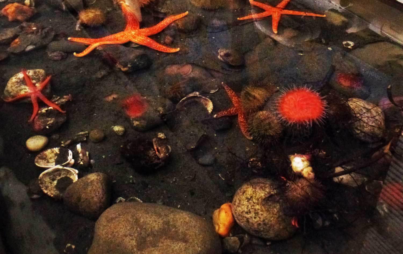 Sea Stars and Sea Anemone in the Camp Casey Sea Lab.
