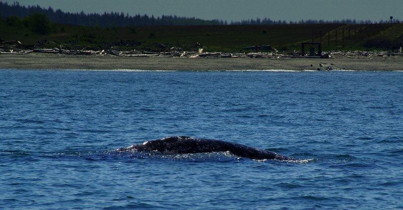 Gray whale off shore - Whidbey Island.