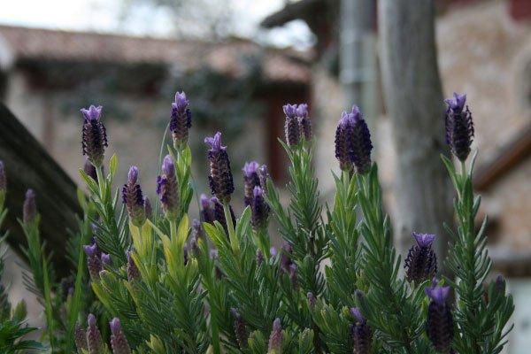 dei fiori di lavanda visti da vicino