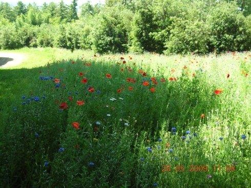 Un cespuglio di fiori rossi, azzurri e bianchi