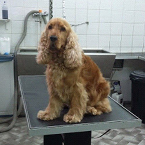 un cocker spaniel  marrone
