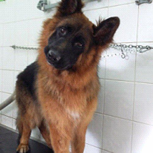 un cane Pastore Tedesco