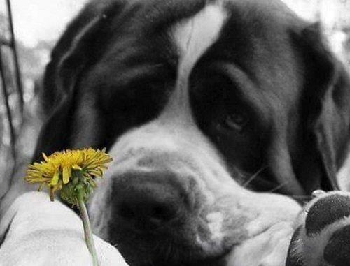 un cane San Bernardo con un fiore giallo