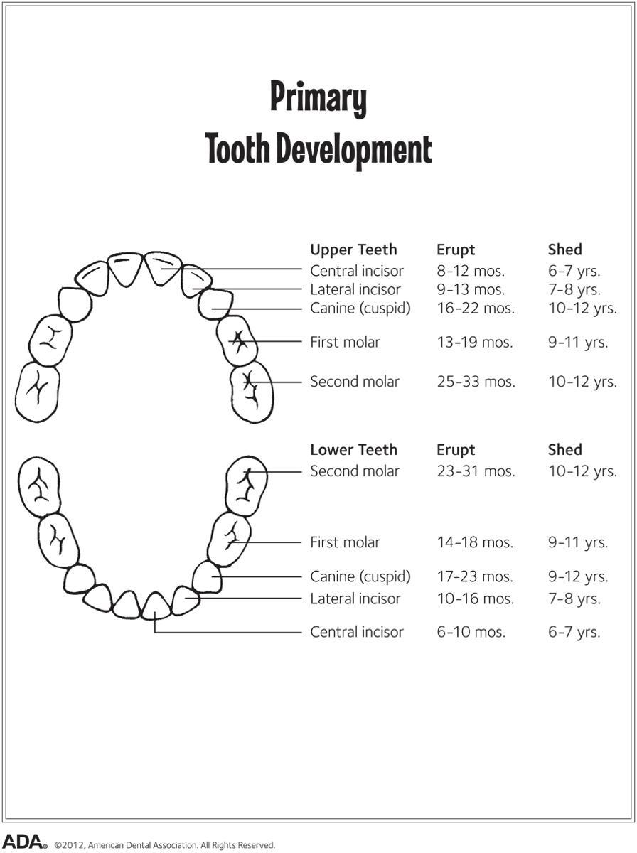 tooth eruption chart for primary tooth development