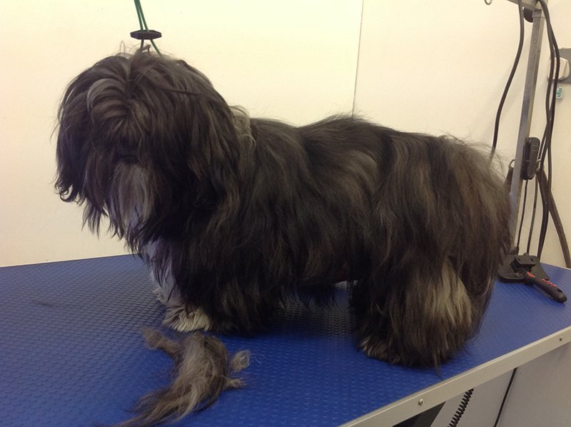 Dog styling before