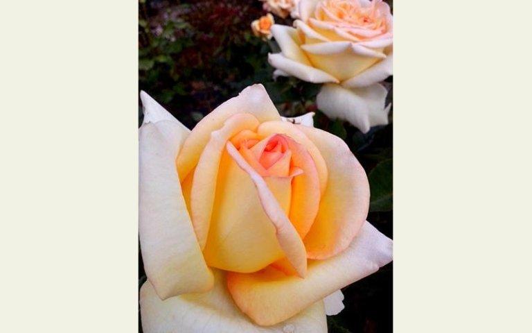 le rose Meilland