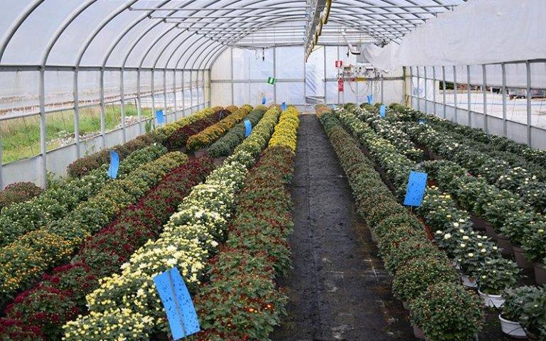 crisantemi in coltivazione