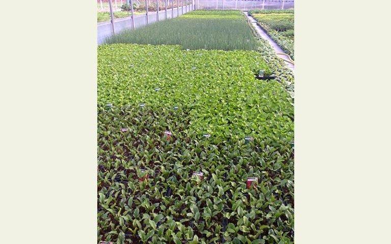 verdure in coltivazione