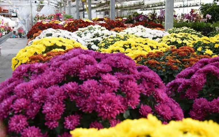 esposizione crisantemi
