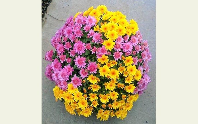 crisantemi a più colori