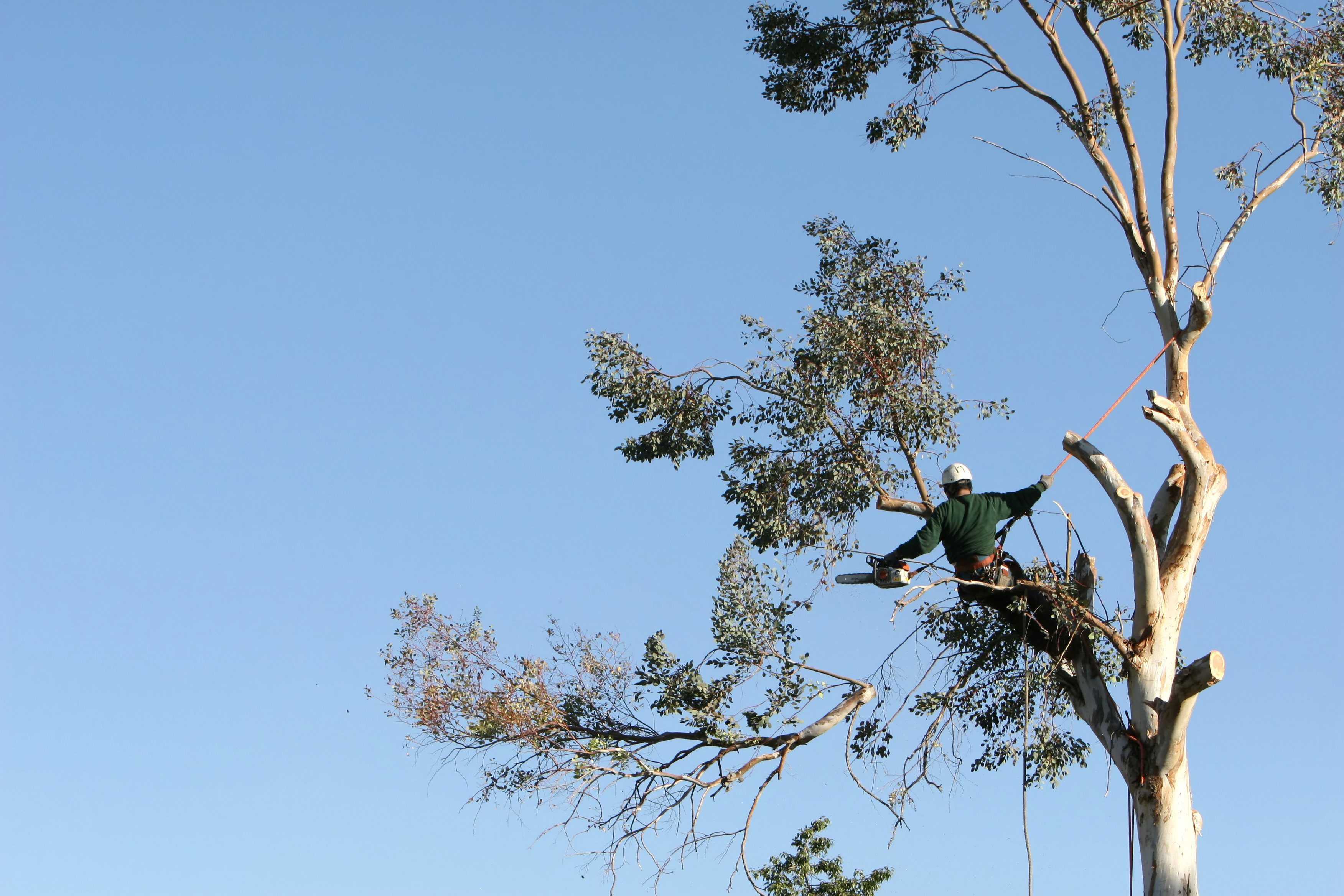 Worker in a tree top removing branches