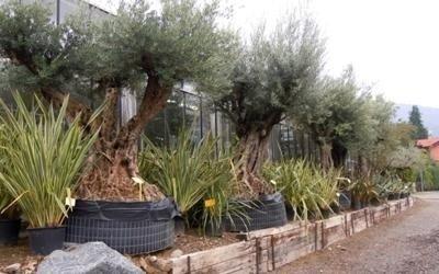 alberi vaso