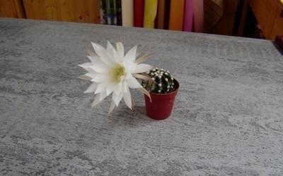 fiorellino cactus