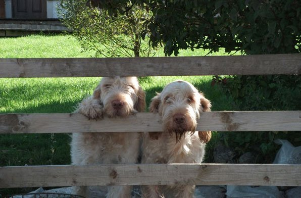 two dogs on fence