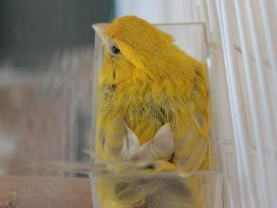 Vendita canarini
