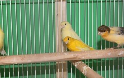 Uccellini domestici