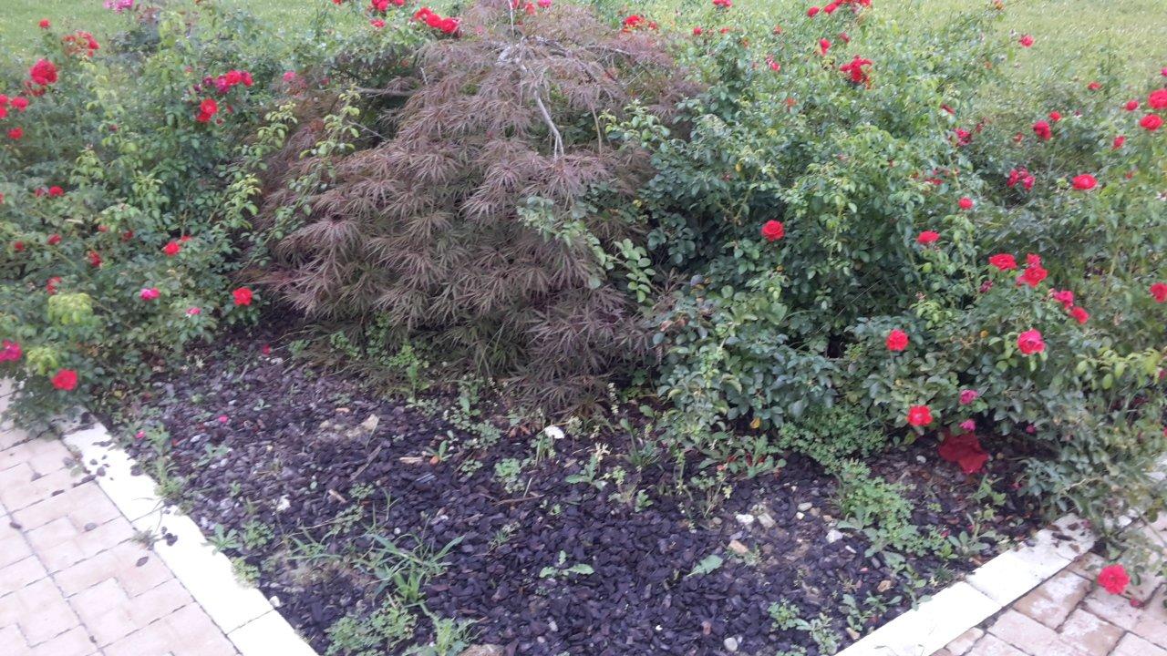 vista ravvicinata di un'aiuola con cortecce,piante e fiori rossi