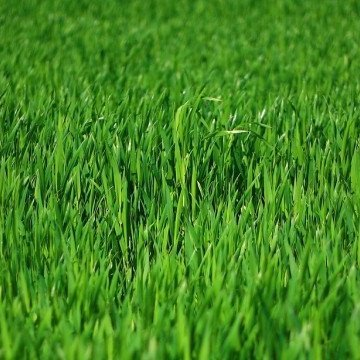 Well fertilized lawn in St. Charles, MO