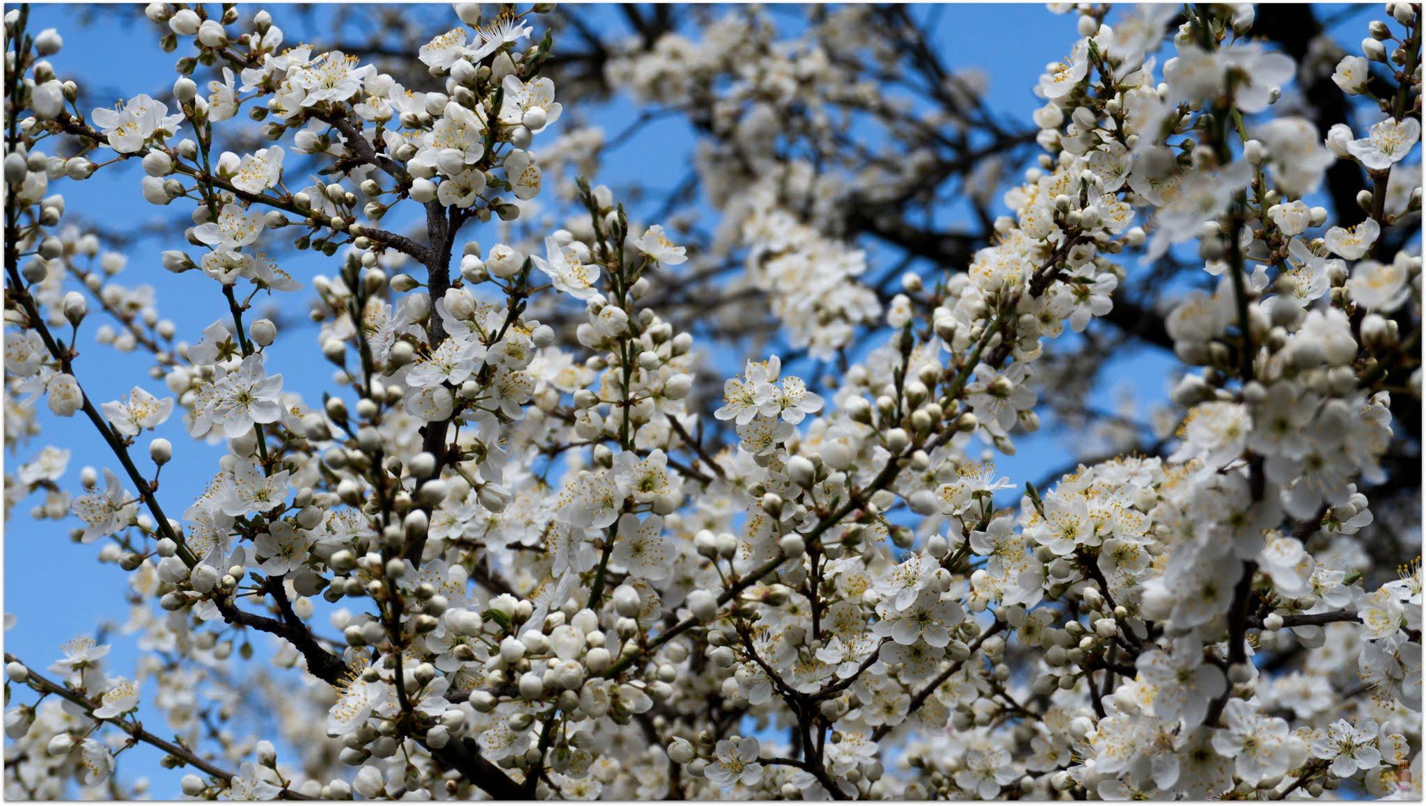 White appletree blossom