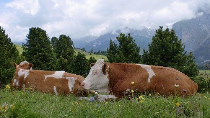 due mucche sdraiate su un prato di montagna