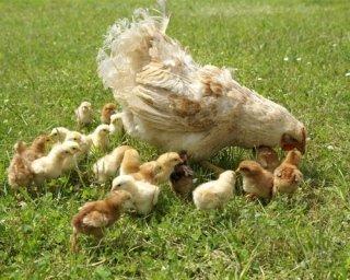 Alimenti per animali da allevamento