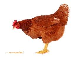 Alimenti per pollame