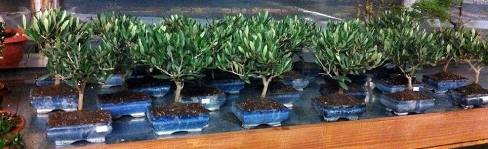 Vivaio bonsai Fondi