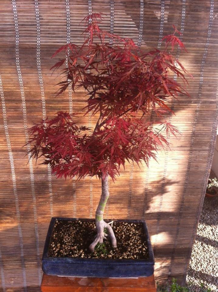 bonsai Latina