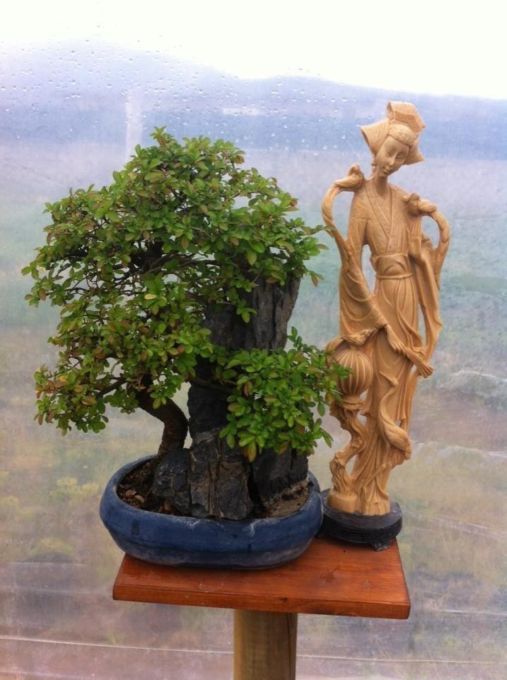 coltivazioni bonsai Laitina