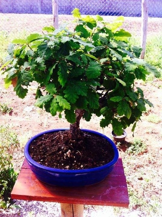 bonsai a Latina