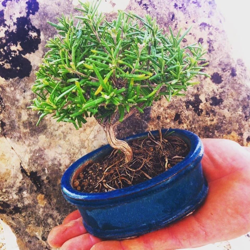 coltivazione bonsai Latina