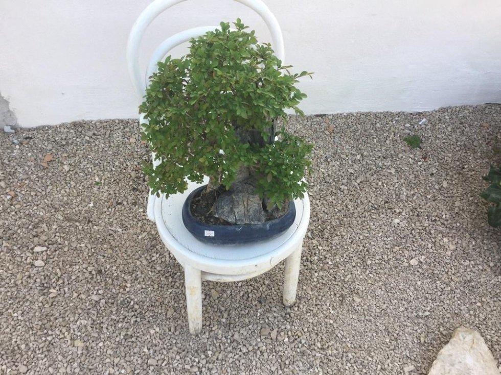 bonsai LT