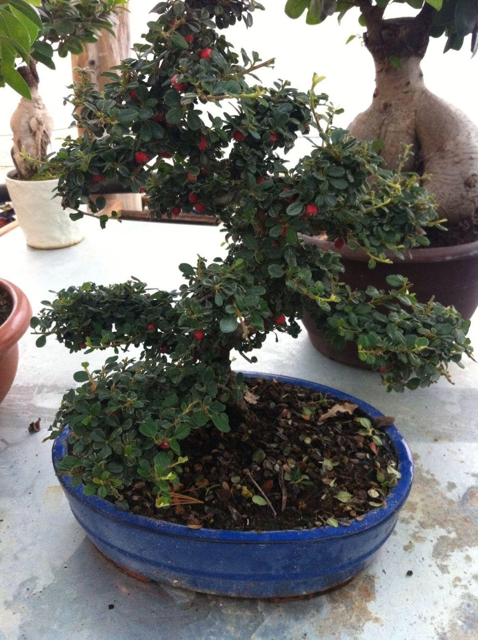 vendita bonsai latina
